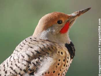 Ladder-backed or Gila Woodpecker