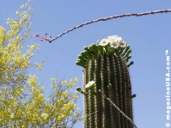 Saguaro Cactus Bloom