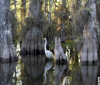 Great Egret in the swamps