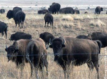 Büffel-Herde am Santa Fee Trail   New Mexico, USA   magazinUSA   {Herde 59}